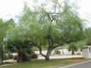 Native Palo Verde