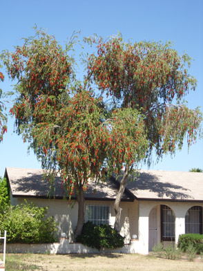 Weeping Bottle Brush