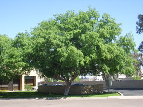 Chinese Elm
