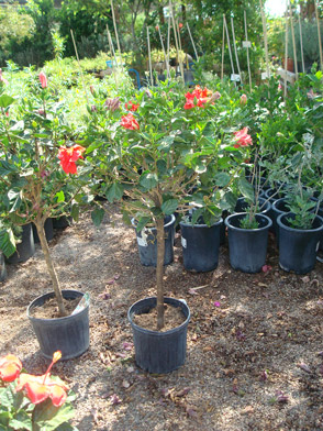 Hibiscus Whitfill Nursery Tropical Plants